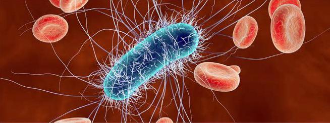Bactérie Escherichia Coli au milieu de globules rouges
